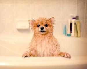 Как мыть и купать померанского шпица