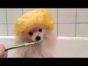 Как чистить зубы шпицу